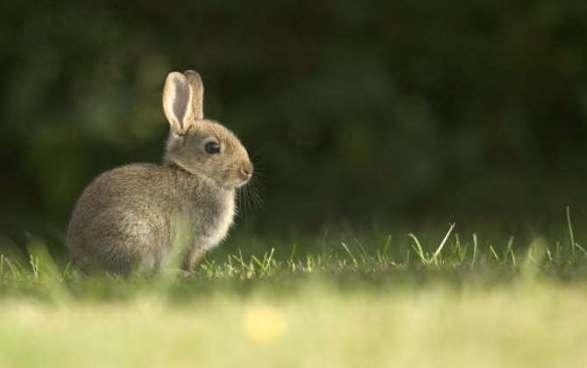 Bigstockphoto_Wild_Rabbit_11739774.jpg